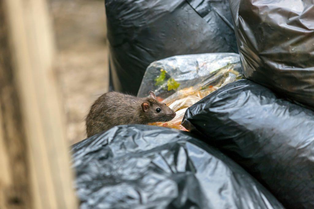 rat on rubbish bins
